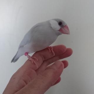 3月生まれシルバー文鳥