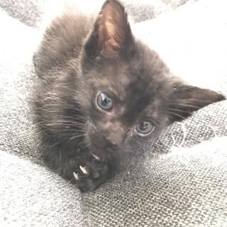 2ヶ月の黒猫♂