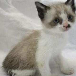綺麗な子猫ちゃんです☆期限6月4日迄!