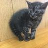 グレーのトラ柄子猫と兄弟猫