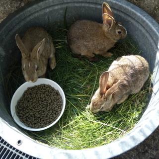 可愛い子ウサギ、生後3ヶ月