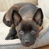 黒い瞳が愛くるしいぺぺ君、賢い子犬です