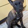 黒い瞳が愛くるしいぺぺ君、賢い子犬です サムネイル2