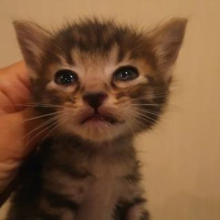 子猫の里親募集。