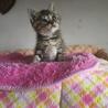 可愛い生後25日の可愛いキジトラ