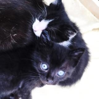 黒白黒仔猫の兄弟。生後1カ月。離乳してます。