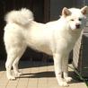 とても優しい性格の白毛の女子 秋田犬