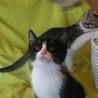 白黒八割れさんと白キジさん仲良し兄弟(生後2ヶ月) サムネイル2