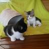 白黒八割れさんと白キジさん仲良し兄弟(生後2ヶ月) サムネイル4