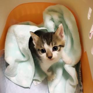 愛媛県松山市の保健所から引き出した仔猫 13番