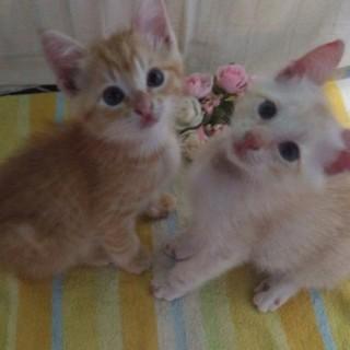 【仲良し兄弟】2ヶ月子猫の里親さん募集中☆