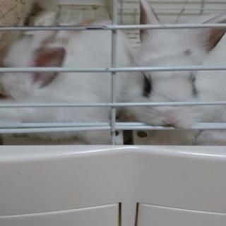 ミニウサギ♂×ライオンラビット♀赤ちゃん