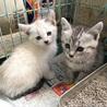 サバトラとシャムネコの姉妹♀ 生後2ヶ月