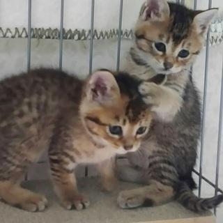 キジトラの兄弟猫