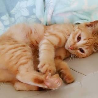 人の上で寝るの大好きな茶トラメス葵ちゃん生後5カ月