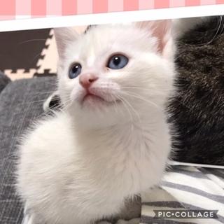 生後1か月半、青い目の白猫の女の子