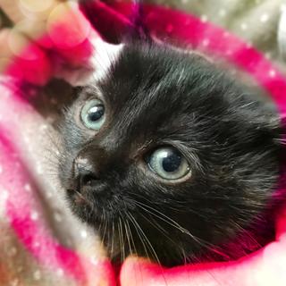 生後2ヶ月♡超美人のミランダ黒猫2匹以上限定