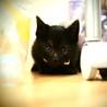 【トライアル決定】ふわふわ黒猫男子【桜士】