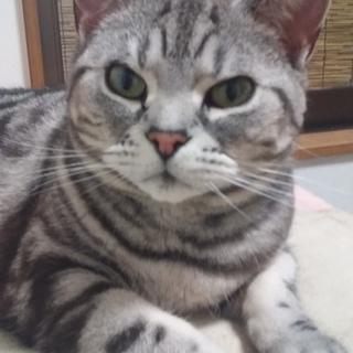 アメショー純血 6歳女の子【里親さん決定!】