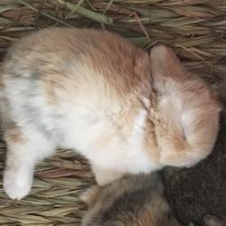 ウサギの赤ちゃん2週間目