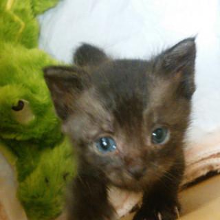 春日市より生後1ヶ月の子猫募集中!