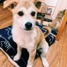 くりくりお目々が可愛い未来の美犬(3ヶ月くらい)