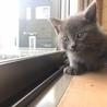 グレー子猫女の子とシャム柄の兄妹猫