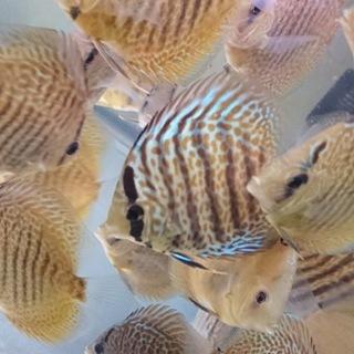 熱帯魚(ディスカス)お好きな方、大事にしてくれる方