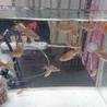 金魚の赤ちゃんの里親さん募集です