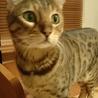 成猫のベンガル女の子