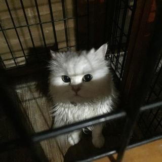 真っ白 ペルシャ チンチラ 猫