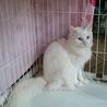 長毛、きれいな白猫メス