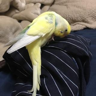 2羽のセキセイインコ