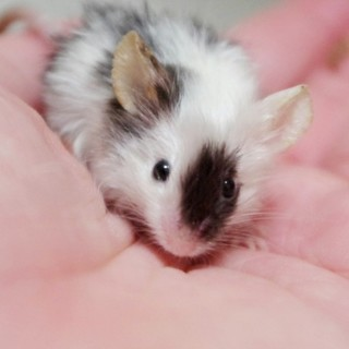 サテン白黒ブチのカラーマウス