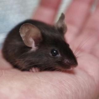 サテンブラックのカラーマウス