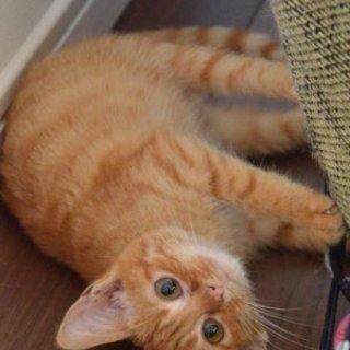 とても可愛い茶トラメス子猫さん