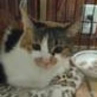 丸顔の可愛い三毛猫1歳半