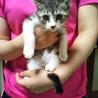 美猫キジ白★シータ★好奇心旺盛