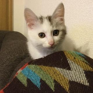 かわいいキジ白かいくん 2ヶ月齢