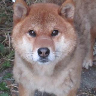 三歳の柴犬のオス(血統書あり)の里親募集中!
