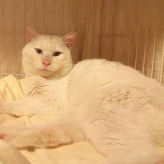 青い瞳の白猫の坊ちゃん!