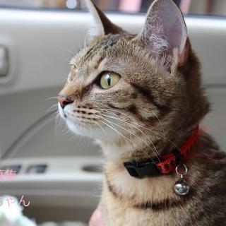 あまあま♡キジトラ猫モネちゃん里親募集