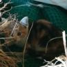 【里親決定 7月末までトライアル】2ヶ月の三毛猫