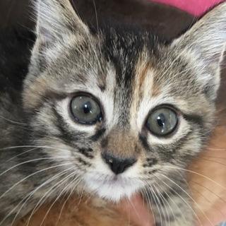 交渉中です。母乳育ちキジ猫ココちゃん。