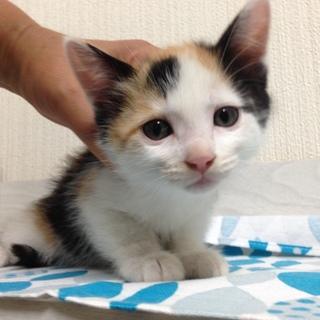 可愛い三毛猫