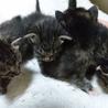 【至急】子猫一匹里親様募集 (写真左)