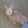 ミニウサギの赤ちゃん
