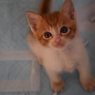 可愛い茶白子猫