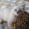 生後2か月近く遊び大好き長毛シャム風可愛い女の子