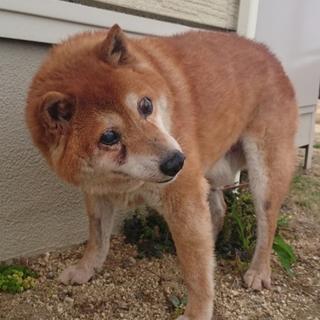 【助けてください!】穏やかな柴の老犬